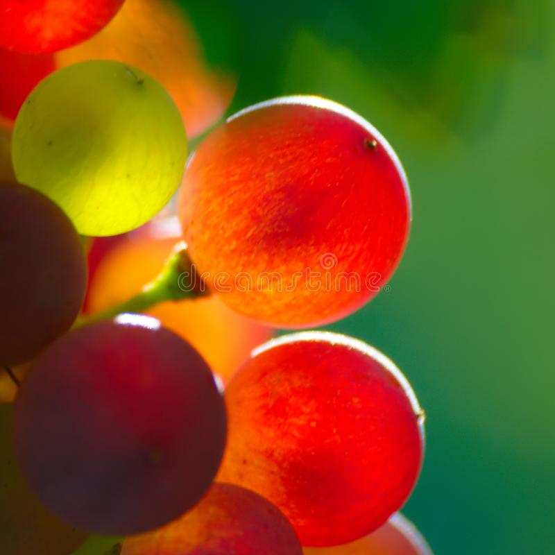 Ripening Blue Wine Grapes royalty free stock photos