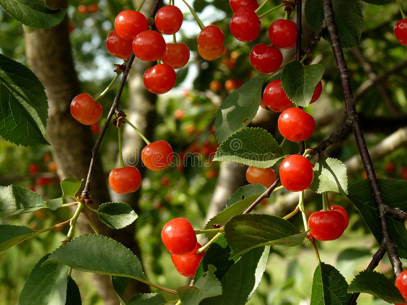 Ripening cherries royalty free stock images