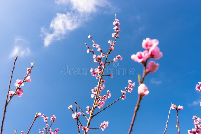 Ripening cherry blossoms on a tree against the background of a blue, spring sky. stock image