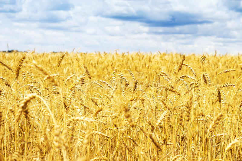 Ripening ears of yellow golden wheat field with blue sky and clouds, summer harvest, rural meadow stock image