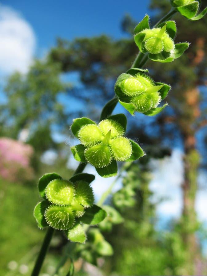 ripening frö för lungwortpulmonaria arkivfoton