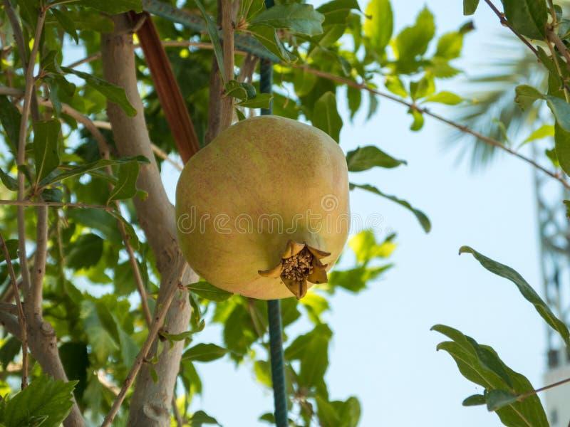Ripening fruit of pomegranate stock images