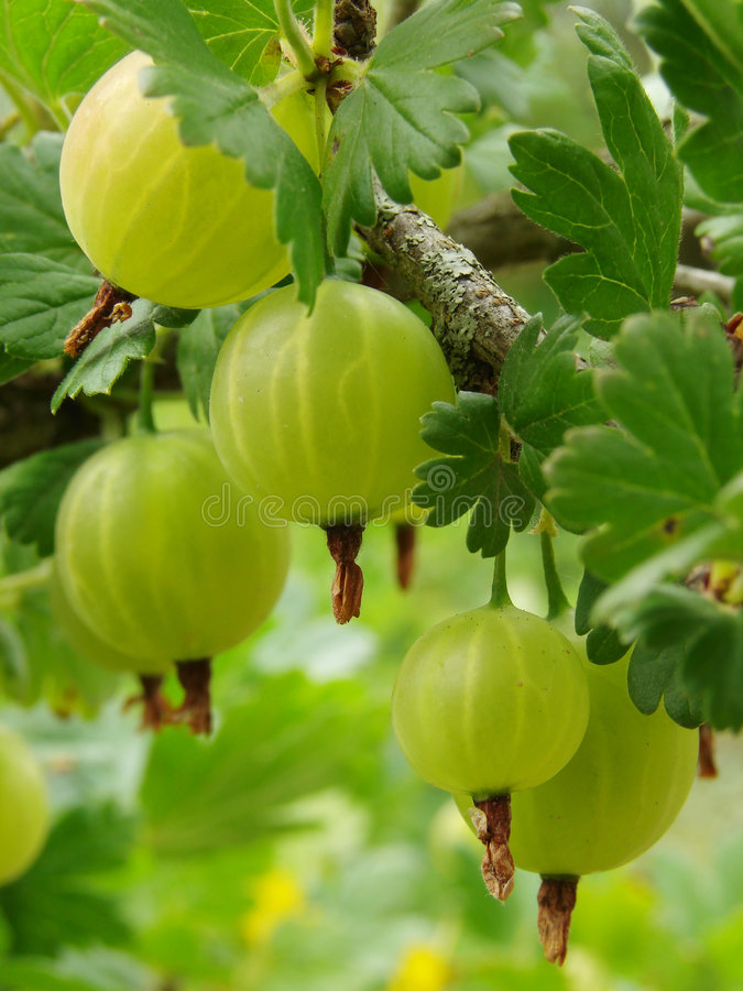 Free Ripening Gooseberries Stock Image - 5618171
