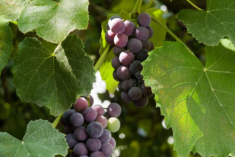 Ripening grapes of Isabella grapes illuminated by the sun. royalty free stock images