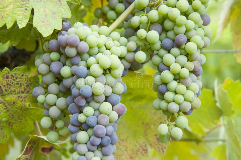 Ripening grapes royalty free stock photo