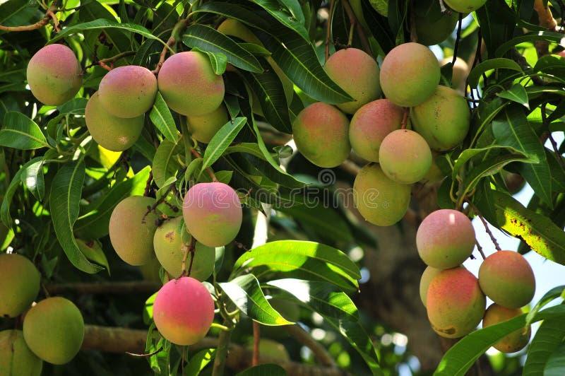 Ripening mangoes on tree stock photography
