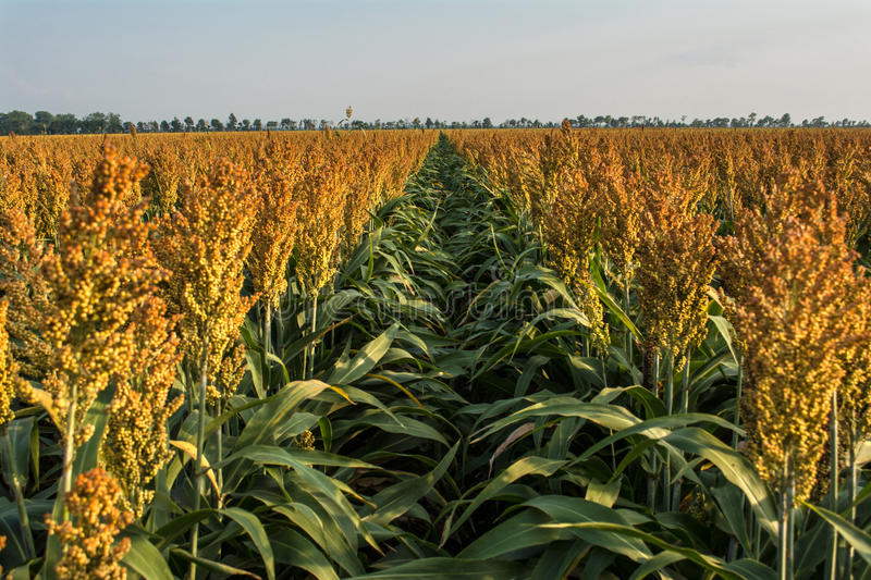 Ripening Milo (Sorghum) Field Royalty Free Stock Images