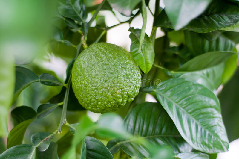 Download Ripening orange stock photo. Image of citrus, leaves - 28576816