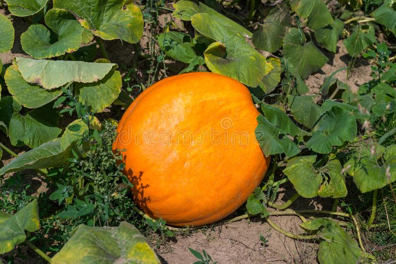 Ripening pumpkin,cucurbit on a hot August day in the countryside in the garden. Ripening pumpkin,cucurbit on a hot August day in the countryside in the garden royalty free stock image