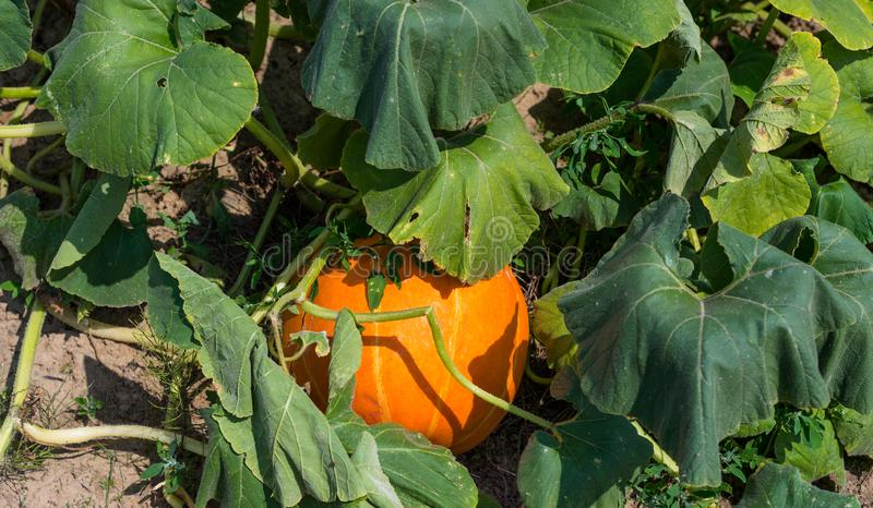 Ripening pumpkin,cucurbit on a hot August day in the countryside in the garden. Ripening pumpkin,cucurbit on a hot August day in the countryside in the garden stock image