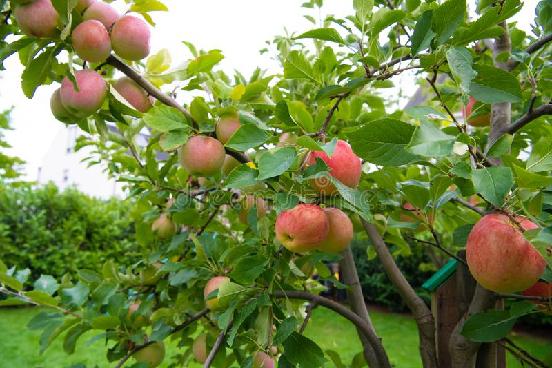 Ripening red and yellow apples on apple tree in garden royalty free stock photo