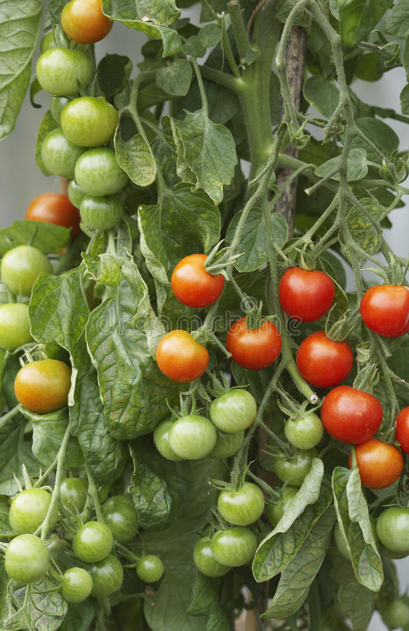 Ripening Tomato Plant. Closeup of ripening tomato plant stock photography