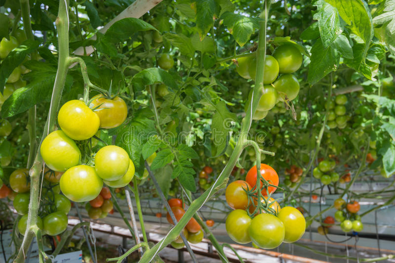 Ripening tomatoes in a Dutch hothouse. Tomatoes in different stages of maturity in a large Dutch greenhouse. The plants are growing on substrate with very stock photo