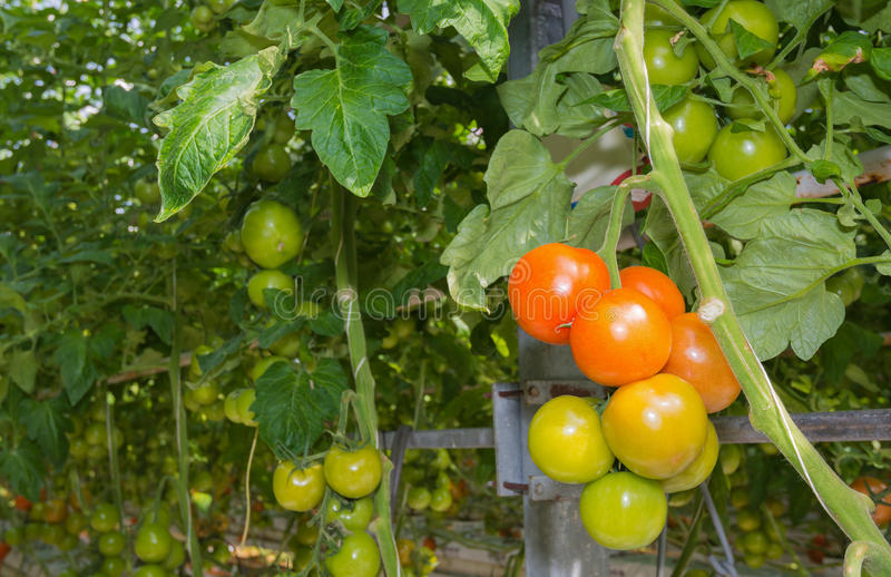 Ripening tomatoes in a Dutch hothouse. Tomatoes in different stages of maturity in a large Dutch greenhouse. The plants are growing on substrate with very royalty free stock photo