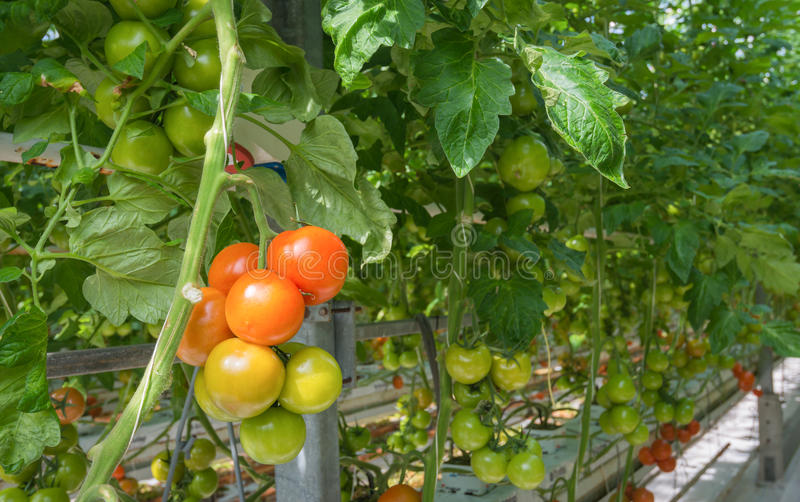 Ripening tomatoes in a Dutch hothouse. Tomatoes in different stages of maturity in a large Dutch greenhouse. The plants are growing on substrate with very royalty free stock image