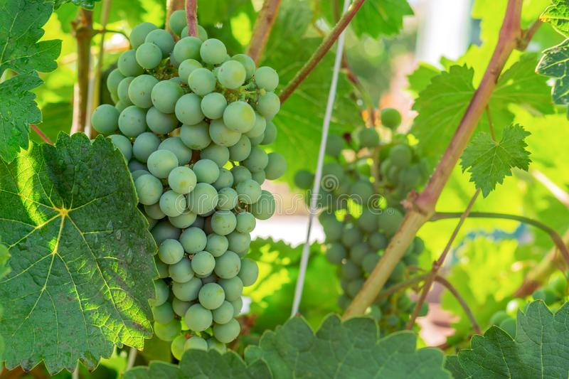 Ripening white grapes with drops of water after rain in garden. Green grapes growing on the grape vines. Agricultural background stock photography