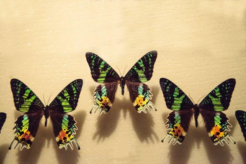 Ripheus d'Urania de papillon de mite de coucher du soleil de Madagascan photo libre de droits