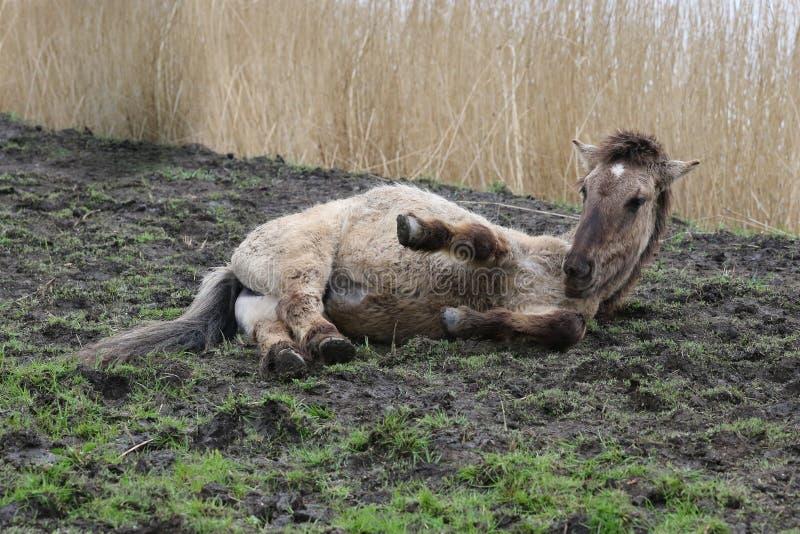 Riposarsi del cavallo di Konik immagine stock libera da diritti