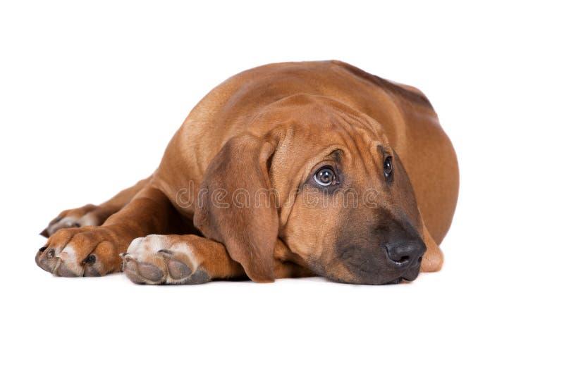 Riposarsi triste del cucciolo del ridgeback immagine stock libera da diritti