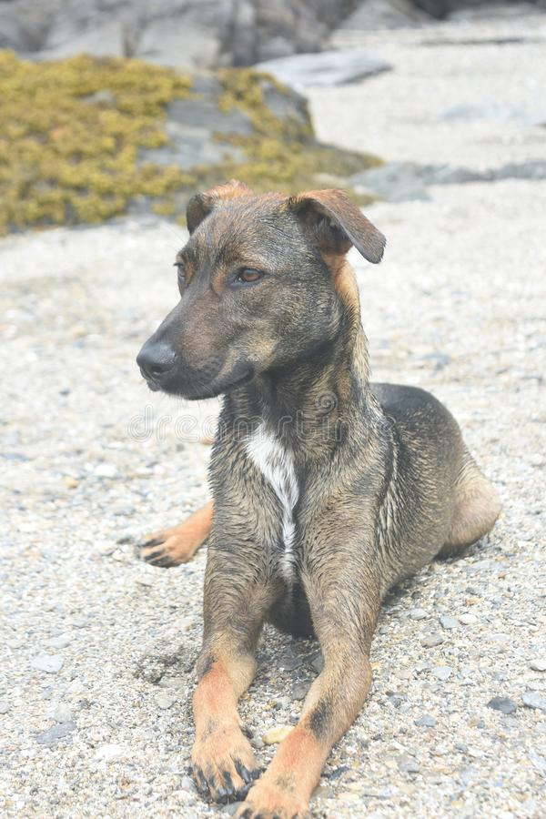 Riposo adorabile del cane di cunucu di Aruba di marrone scuro fotografia stock libera da diritti