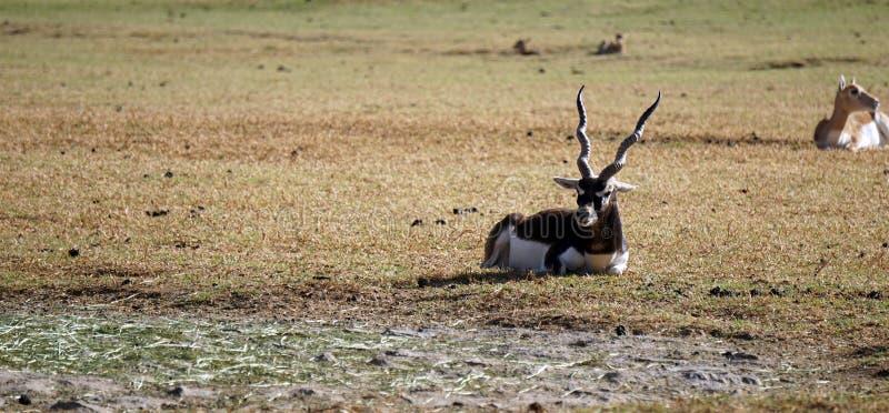 Riposo adulto della gazzella dell'orice immagini stock libere da diritti