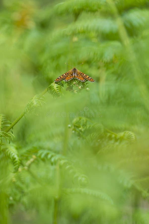 Riposo arancione della farfalla fotografie stock