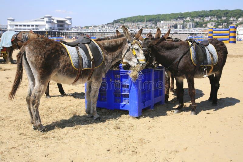 Riposo degli asini della spiaggia fotografia stock libera da diritti