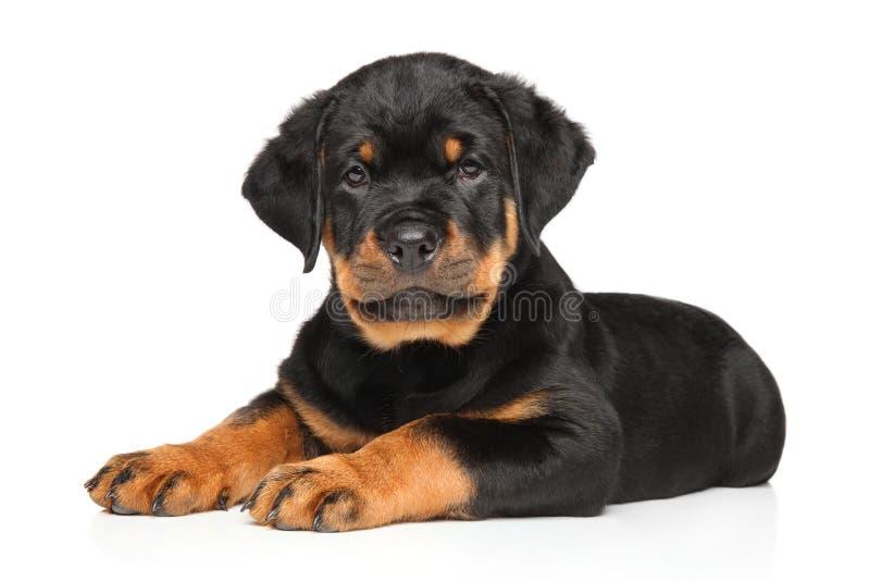 Riposo del cucciolo di Rottweiler fotografia stock