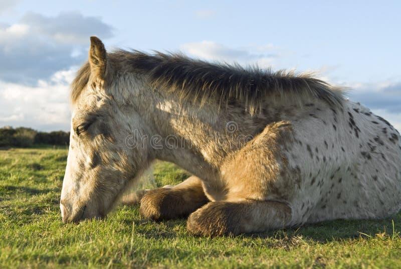 Riposo del foal di Appaloosa fotografie stock