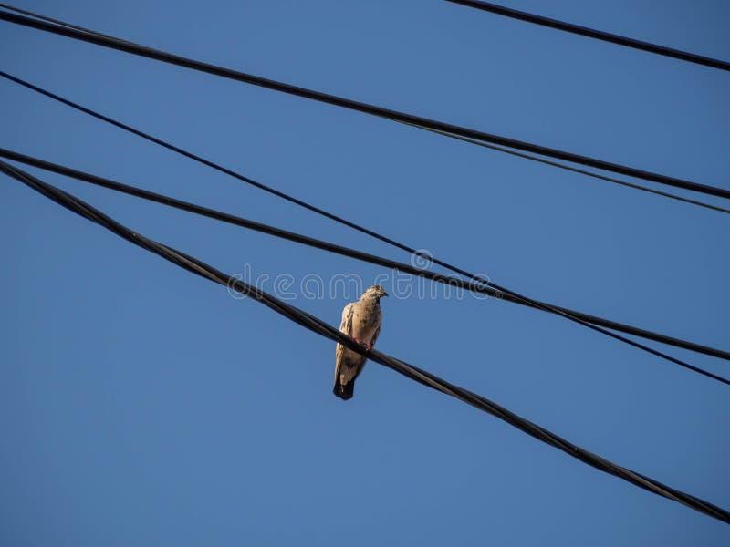 Riposo del piccione fotografia stock libera da diritti
