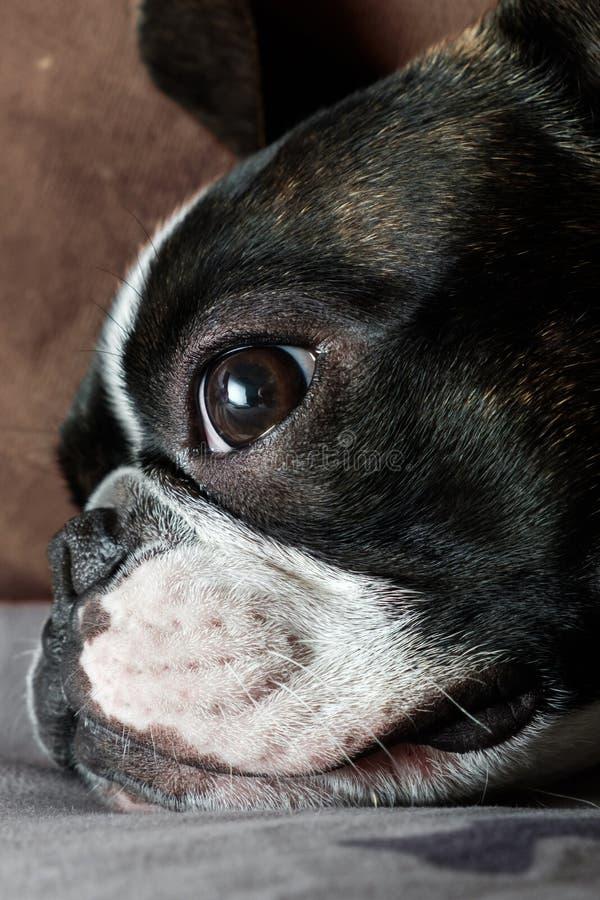 Riposo del terrier di Boston, ritratto del fronte ed occhi tristi fotografia stock