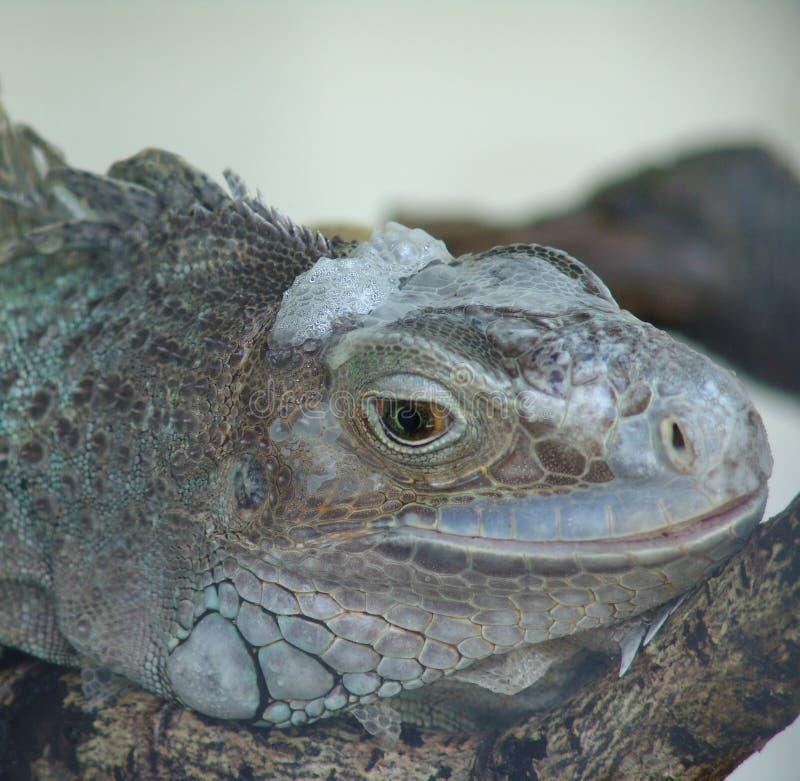 Download Riposo dell'iguana immagine stock. Immagine di rettile - 202439