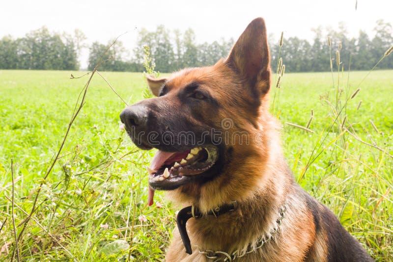 Riposo di camminata del pastore tedesco nel parco sull'erba un giorno di estate fotografia stock