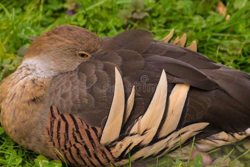 Riposo marrone selvaggio di sonno dell'anatra sull'erba fotografia stock libera da diritti
