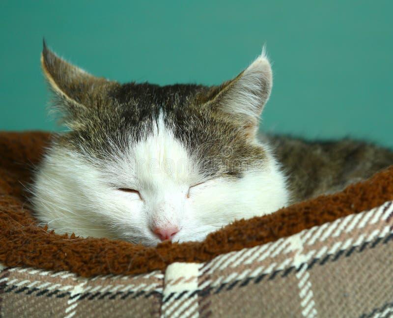Riposo siberiano sveglio del gatto sonnolento nel suo letto fotografia stock libera da diritti