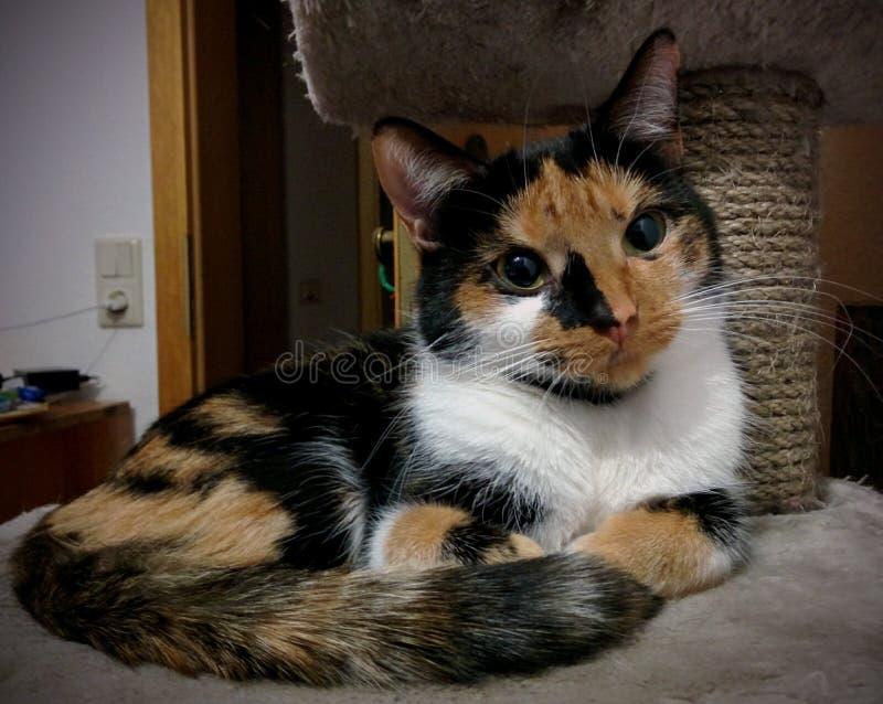 Riposo tricolore del gatto fotografia stock