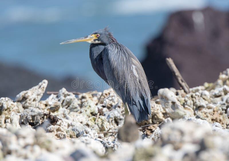 Riposo tricolore dell'egretta dell'airone di Tricolored su Rocky Beach fotografie stock libere da diritti