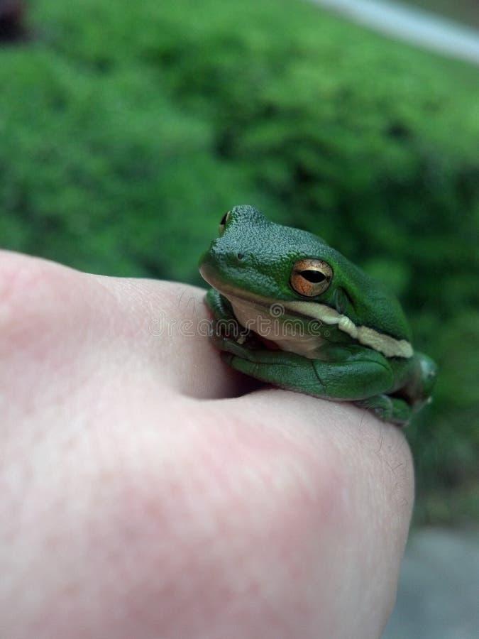 Riposo verde della rana di albero fotografia stock libera da diritti