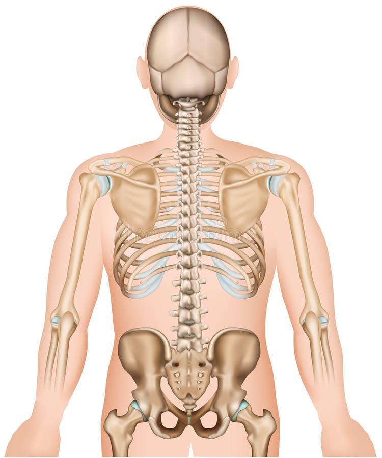 Rippen der hinteren Knochen und medizinische Vektorillustration der Hüfte 3d lizenzfreie abbildung