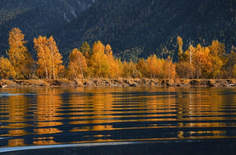 ripple Árvores de Autumn Golden Reflection Of Beerch na água azul no por do sol Folha colorida sobre o lago com madeiras bonitas  imagem de stock royalty free