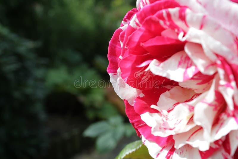Ripple rose stock photo