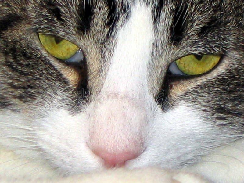 Ripresa da vicino di un gatto intenso fotografia stock libera da diritti