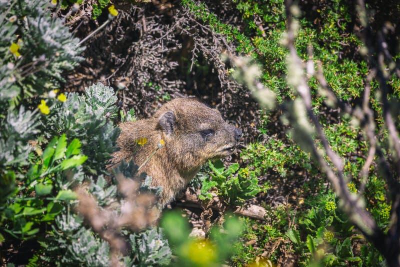 Ripresa di un hyrax rock o di una dassie in cima a Table Mountain fotografie stock libere da diritti