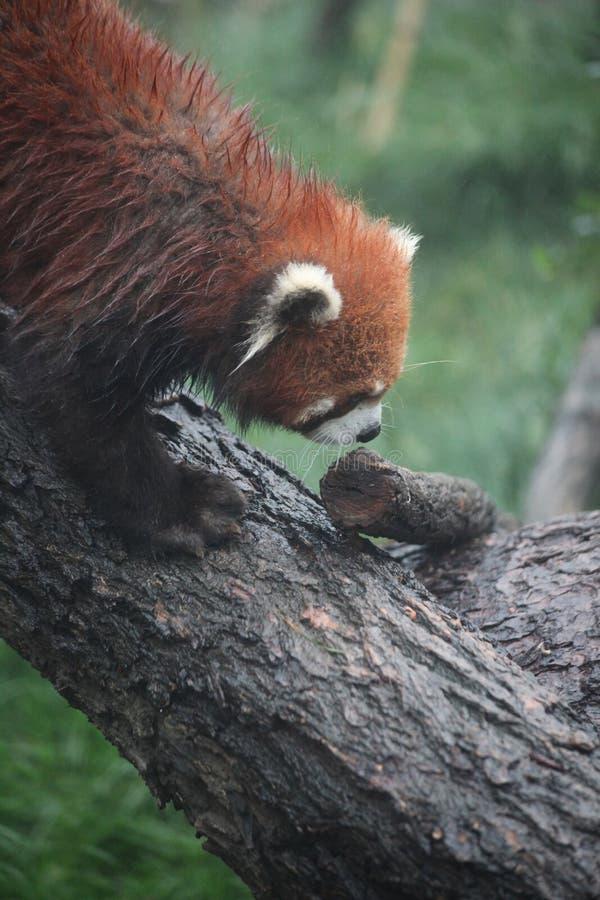 Ripresa verticale di Red Panda a Chengdu su un albero con fondo sfocato immagine stock