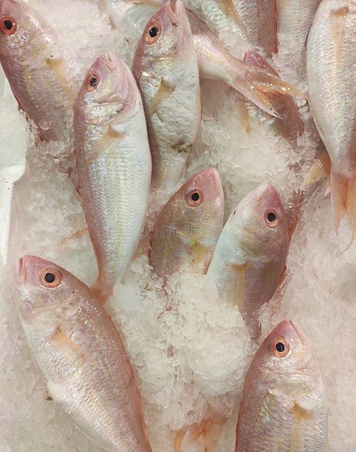 Riproduzione dell'orata del Mar Rosso nel contatore dei pesci fotografia stock