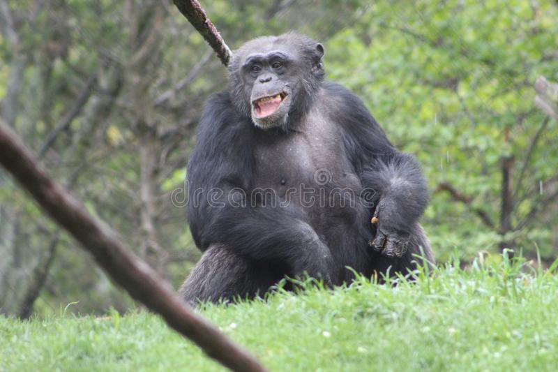 Rire de gorille image stock