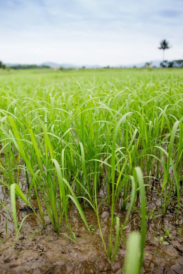 Ris är en härlig gräsplan arkivbilder