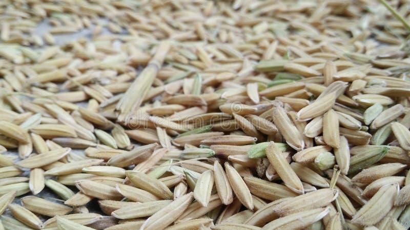 Ris arkivfoto