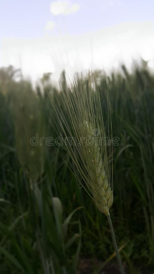 Ris arkivbilder