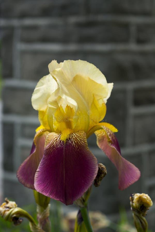 ?ris amarela e roxa na flor completa fotografia de stock